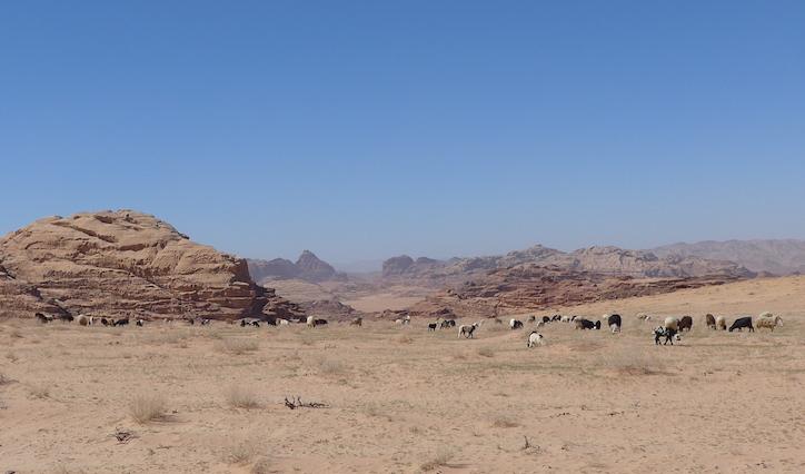 козы в Иордании