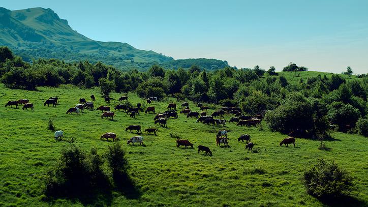 коровы на Кубани