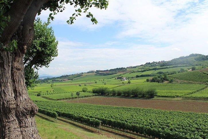 Prosecco виноградники
